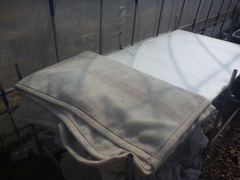 レタスの種に毛布をかける
