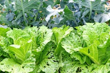 虫喰いの野菜