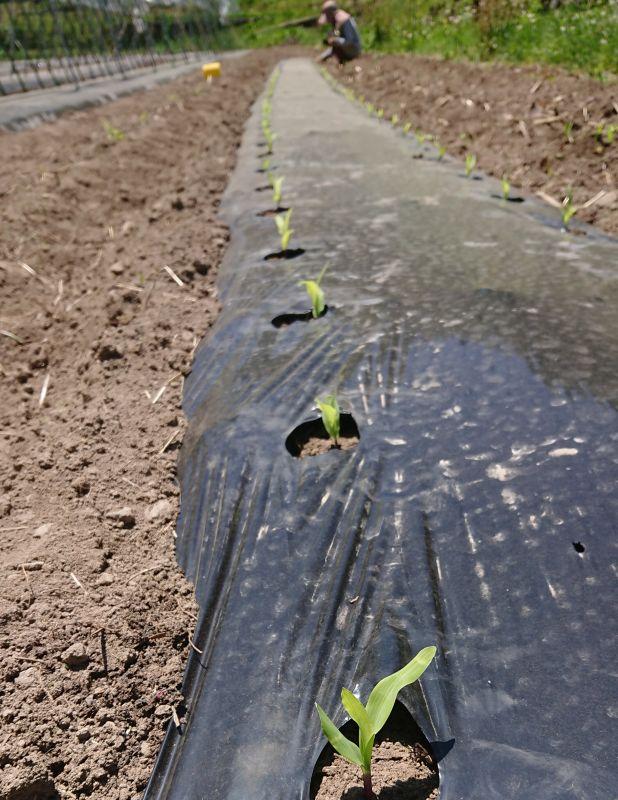 ポップコーンの定植