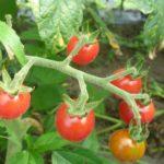 自然栽培のトマト