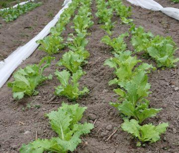 畝に並んだ野菜