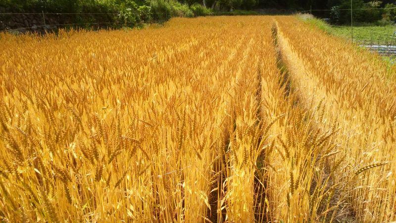 黄金色に輝く自然栽培の麦